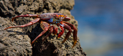 worldlyanimals:  Sally Lightfoot Crab (abey79)