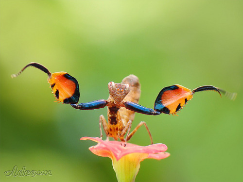 insectlove:  sun-stones: Mantis Fist by adegsm@ on Flickr.