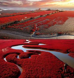 visitheworld:  Panjin Red Beach in Liaoning Province, China (by Noerona).