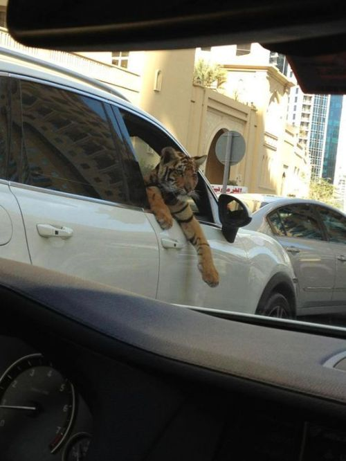 Another tiger-in-car spotting in Dubai.  Who are these idiots that have tigers as pets?