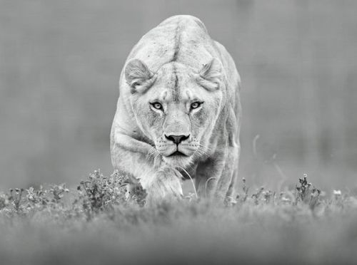 theanimalblog:  Predator by Shlomi Nissim