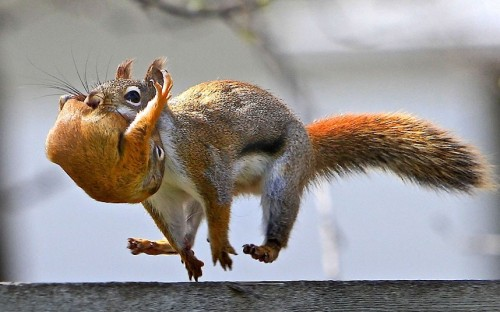 theanimalblog:  A red squirrel carries its baby in its mouth as it bounds along a fence in Winnipeg, Manitoba, Canada  Picture: KEN YUEL / CATERS NEWS Impressive my little mammal friend.