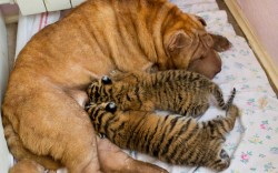 theanimalblog:  Two baby tigers whose mother refused to feed them found an unusual wet nurse, a wrinkled, sand-coloured Shar Pei dog named Cleopatra. The cubs were born in late May in a zoo at the Russian Black Sea resort of Sochi.  Picture: Igor Okunin/AP