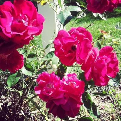 Our roses in bloom (Taken with Instagram)