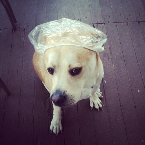This is my dog in a shower cap. I hope you have a good day.  (Taken with Instagram)