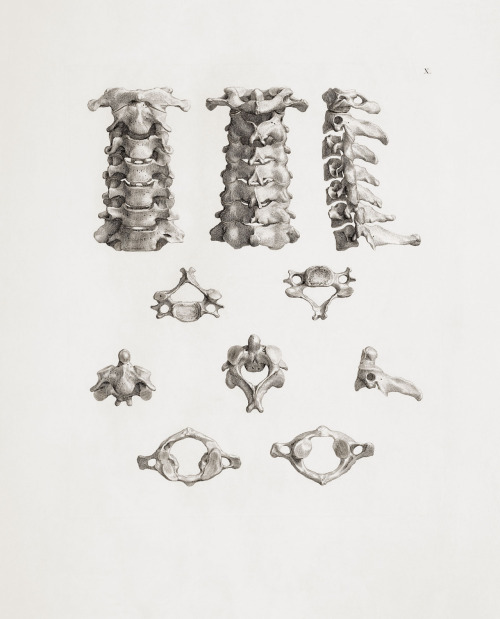 medicalstate:  Cervical Spine Copper Engraving from Tabulae Ossium Humanorum (Table of the Human Bones) by Bernhard Siegfried Albinus (1697 - 1770).