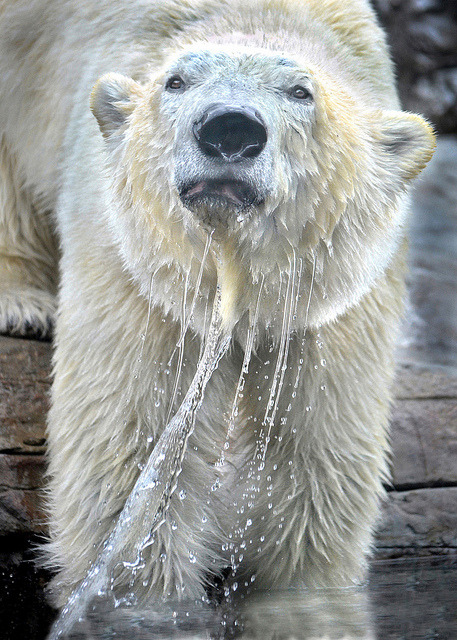 sdzoo:  Polar bear express by Stinkersmell on Flickr.