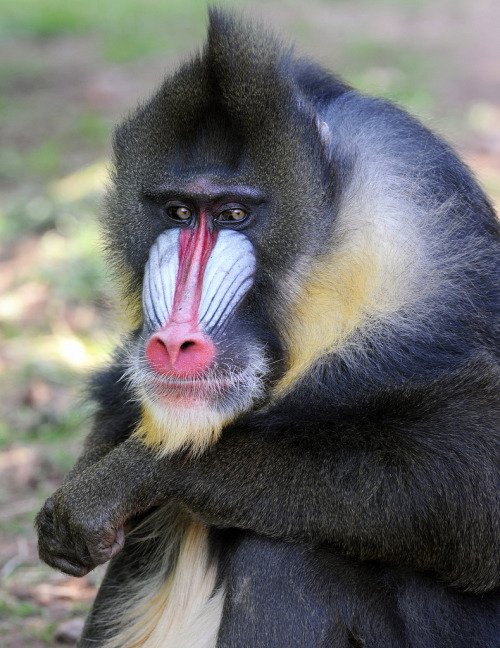 The Mandrill (Mandrillus sphinx), a kind of baboon, lives in thick rainforest throughout Cameroon, Equatorial Guinea, Gabon and Congo. It is the largest of the monkeys and has an omnivorous diet. (photo: male Mandrill, by Ray Morris)