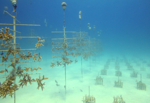 "rhamphotheca:  Raising Baby Corals for Reef Restoration  Restoring the Florida Keys, one piece at a time.   by Rachel Nuwer May-June 2012 - Ken Nedimyer has been diving in the Florida Keys for 42 years. He used to make his living collecting tropical fish for the aquarium trade. At first business was good, but then Nedimyer began noticing a disturbing trend. ""The reefs were dying around me,"" he says, ""and dead reefs didn't have as many fish."" While scientists studied the declines, Nedimyer began devising solutions to help bring back coral. There are many reasons for coral death. Damage from boats and overfishing are problems, while other corals ""die by 1,000 cuts,"" Nedimyer says, through an accumulation of assaults from disease, hurricanes, cold winters, hot summers, and the like. Brian Tissot, a Washington State University marine ecologist, adds that seemingly innocent activities—like buying dried starfish or shell jewelry—can support destructive activities, too. Since the 1970s about 98 percent of a type of coral species that provides critical structure for reefs has disappeared from Caribbean waters, according to the Acropora Biological Review Team.  With ideas borrowed from the aquarium trade, Nedimyer and his daughter started experimenting with methods of growing and mounting corals. From a handful of original specimens, his underwater nursery has since burgeoned to roughly 25,000 corals. Largely fueled by volunteers, Nedimyer's nonprofit Coral Restoration Foundation has transplanted thousands of corals from the nursery out into the reef, and replanted still more fragments of broken ones… (read more: Audubon Magazine)       (photo: Ken Nedimyer/CRF)"