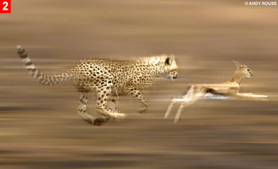 Another badass cheetah.