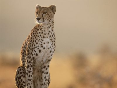 Cheetahs. Awesome.