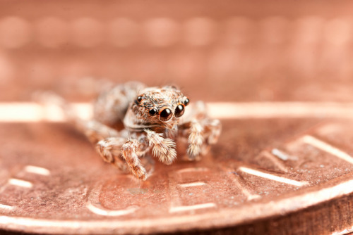 adorablespiders:  Jumping spider on penny  I really like size comparisons like this. It makes it even funnier to me when someone flips their shit about a spider.