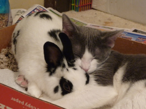 My cat Kiyo as a kitten and our old bunny Bun-Bun u v u(Thanks, loverofscythe!)