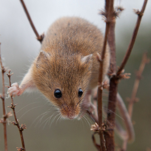 worldlyanimals:  Harvest Mouse (asbimages.co.uk)