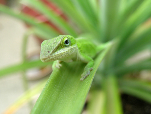 animals-animals-animals:  Green Anole (by patti haskins)  For you, Alex! :) I know how much you love lizards!