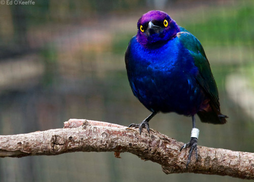 Glossy Purple Starling Bird
