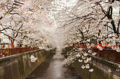 dreams-of-japan:  sakura #1 by FUJIPOPO on Flickr.