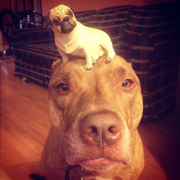 #stuffonscoutshead - #puglife (Taken with Instagram)