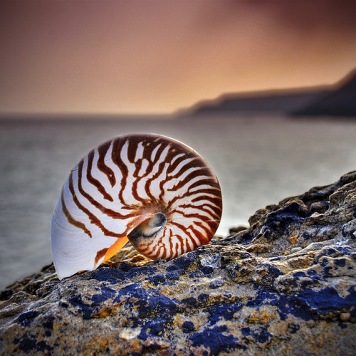 worldlyanimals:  Nautilus, back to the sea (petervanallen)