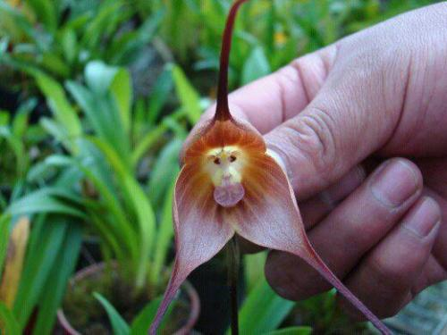 ruineshumaines:  Monkey Orchids  Its scientific name is Dracula simia, the last part nodding towards the fact that this remarkable orchid bears more than a passing resemblance to a monkey's face – although we won't go as far as to be species specific on this one. The Dracula (genus) part of its name refers to the strange characteristic of the two long spurs of the sepals, reminiscent of the fangs of a certain Transylvanian count of film and fiction fame.The orchid was only named in 1978 by the botanist Luer but is in a family containing over 120 species mostly found in Ecuador.  Up in the cloud mountains the monkey orchid can flower at any time – it is not season specific. It scent resembles that of a ripe orange.