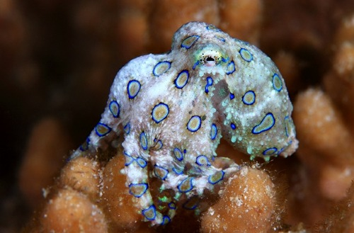 fyeah-seacreatures:  Blue Ringed Octopus. (Eugene Lim)