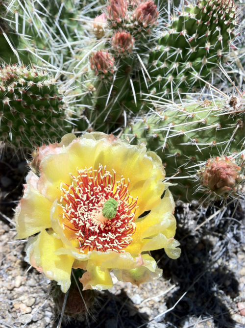 cactus flowers are my favorite. hi everyone. field camp is going well. currently out side of beauno vista colorado.