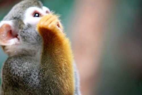 animalia:  Submitted by ntomataphobialynn: Squirrel Monkey.