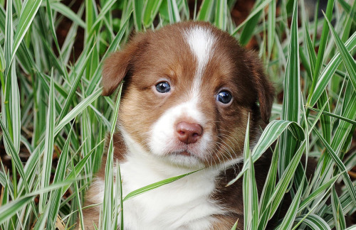 "corgiaddict:  simonsaysbark:  Got to photograph puppies today… :) Yes, this is a Cardigan Corgi puppy. He is sort of a surprise puppy in that he's a dudley - commonly known as liver - which isn't an accepted color in our breed but does occur. Sneaky color genetics sometimes! It was a shock, because no one suspected mom (blue merle) carried this in her background. He's gorgeous and awesome and super well structured —  just a color that's not accepted for the show ring in the breed in the States. Edit: Oh man, I can't figure out how to reply to someone in Tumblr - but no, he's not ee - which is a clear red, or what Cardigan folks call ""Pink."" (Which is a color I've never gotten to photograph, but I'd love to!) This little guy is the dilute gene working on black, so there's BB (which gives us black) Bb, who carries the dilute gene but it doesn't express… and bb (dilute over black, which is what this fellow is - a liver/chocolate.) Cardigan colors are fun! :D  I WANT THIS PUPPY!!!! Super rare Cardigan colors! HURRAY!"