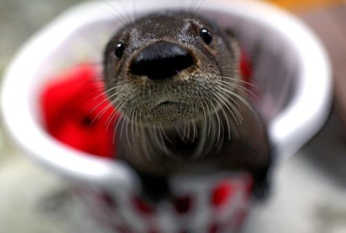 magicalnaturetour:  A baby otter that has been added to the Virginia Aquarium ~ Photo by AP Photo/Virginian-Pilot, Ross Taylor . (via The Daily Beast by Wanda Goodwin) :)