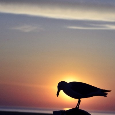 Gull at sunrise.  #sunrise #capecod #ma #massachusetts #beaches #chatham #sky #photooftheday #bestoftheday #lighthousebeach #morning #birds #gulls #seagulls (Taken with Instagram at Lighthouse Beach)