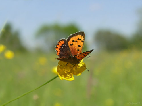 butterfly and buttercup by ~Lolipop66