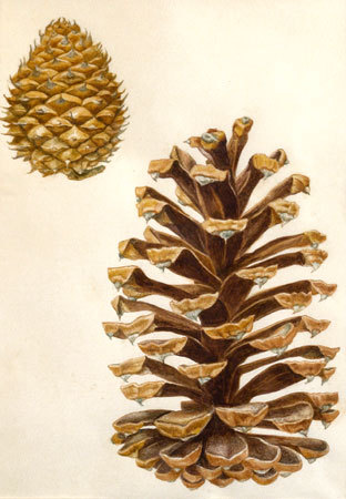 Science art: Long-leaf and Table Mountain Pines