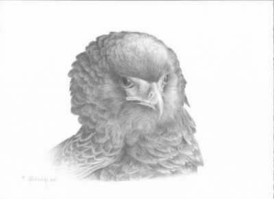 Science art: Bateleur Eagle