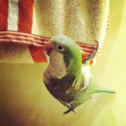 whoamkm:  Mowgli is hanging out, literally. #upsidedown #quaker #parrot (Taken with Instagram)