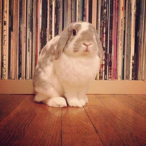 dailybunny:  I Would Never Chew on Your Record Collection, Hoomin! Happy Bunday! Thanks, designcuriosities!