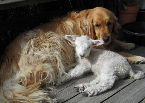 magicalnaturetour:  This 2-week-old lamb has bonded with Tucker, a golden retriever, since she was rejected by her mother at birth. Photo by Dick Allen :)