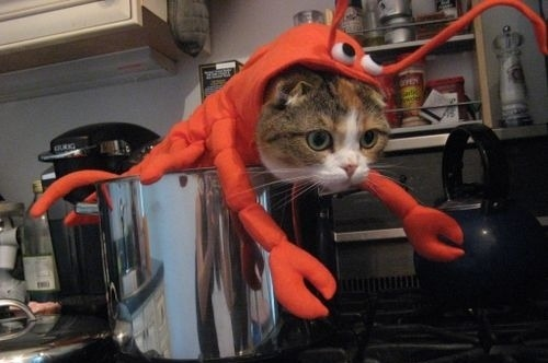 getoutoftherecat:  get out of there cat. you are not the seafood special at joe's crab shack.  I wish my cat was more fond of costumes.