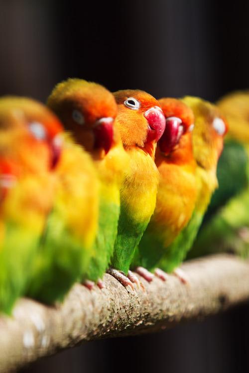 "animals-of-the-world:  (via 500px / Photo ""Lovebirds whispering"" by Laurent Caille)"