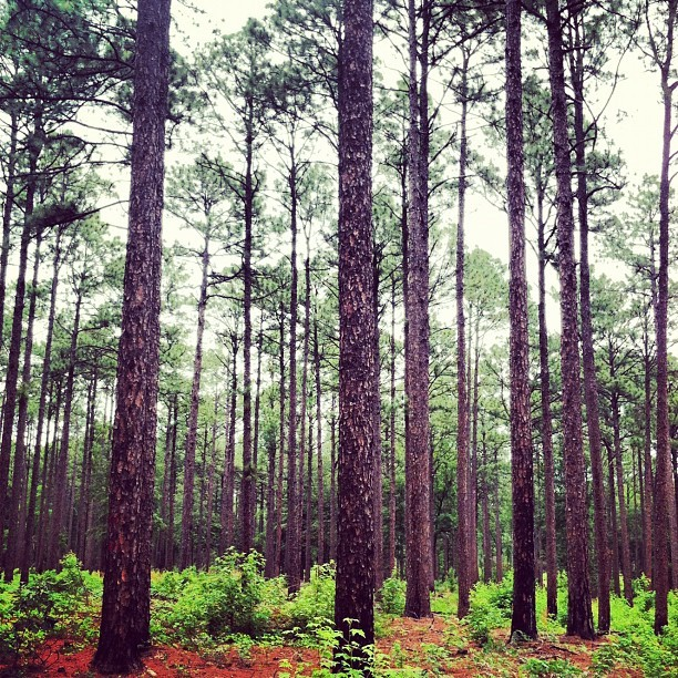 In the pines (Taken with Instagram)