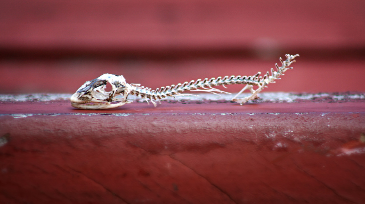 "Lizard skeleton, about 1"" and a half."