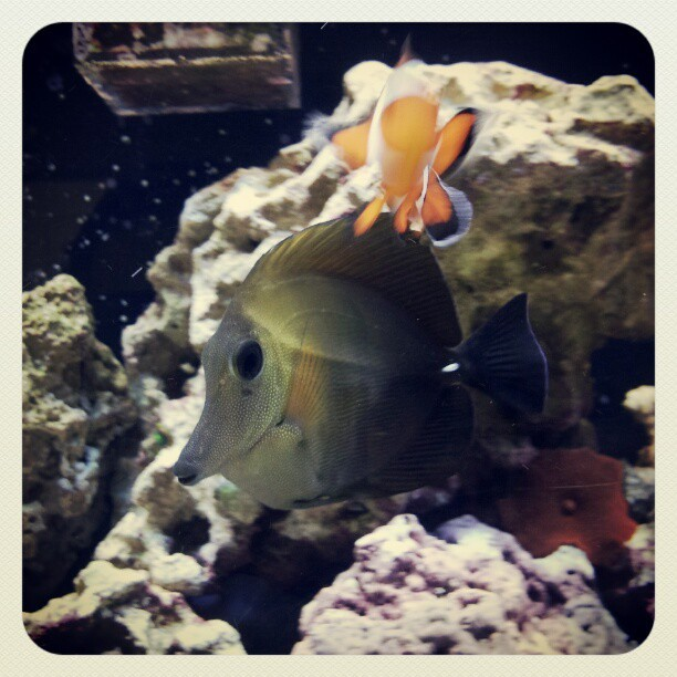 Say hi to #SeaBiscuit #ScopasTang #ReefTank #Fish #Nemo (Taken with Instagram)