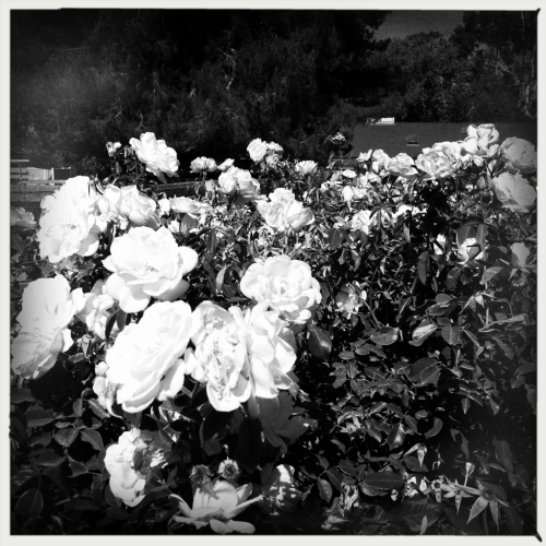 white flowers of Santa ynez  6-9-12