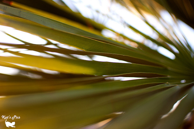 "Palm Leaf on Flickr. www.katheryns-gallery.com ""It is the nature of the strong heart, that like the palm tree it strives ever upwards when it is most burdened."" — Philip Sidney"