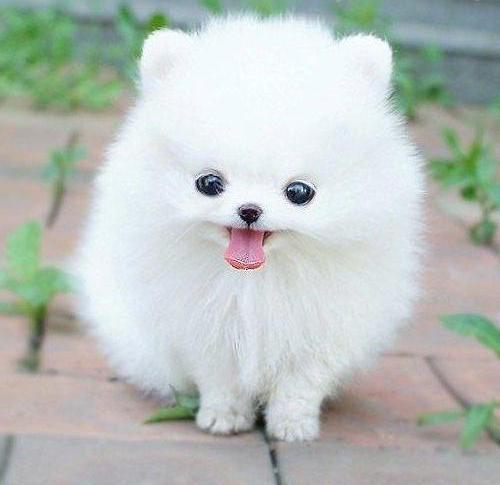 THIS IS A CLOUD WITH A FACE.  Teacup Pomeranians look unnatural, cute, but like a small cotton ball with feet.