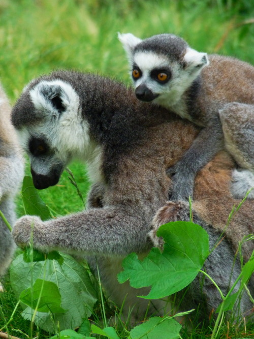 Submitted by mimsie: Lemurs at The Cotswold Wildlife Park in Oxfordshire. Taken by Mimsie.