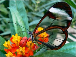 Greta Oto Glasswinged Butterfly  (Source: World's Most Beautiful Animals)