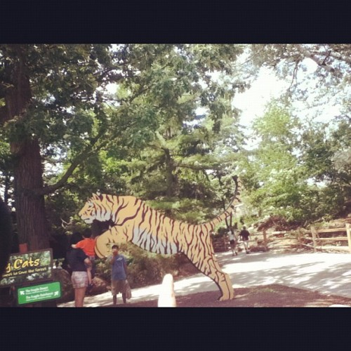 Went to the Zoo today. :) #Zoo #Tigers #Animals #Sunday #happymood #cute #Like  (Taken with Instagram)