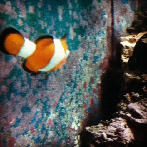 I found Nemo Running away! D: #animals #zoo #sunday #Nemo #Findnemo #cute  (Taken with Instagram)