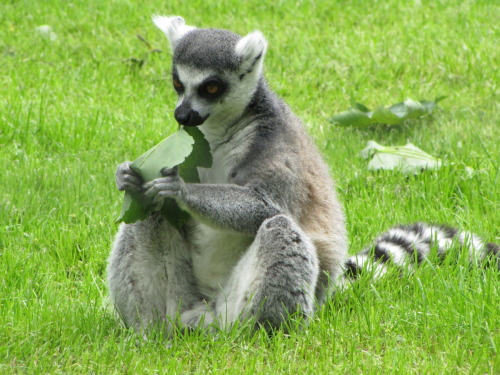 Submitted by sarahann5-5: Ring Tailed Lemur, I took this photograph at Flamingo Land.