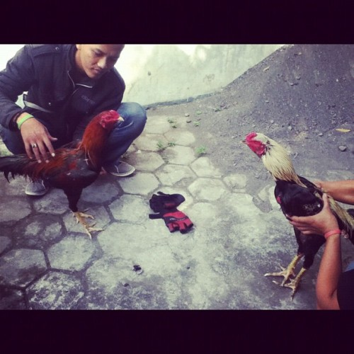 Roosters ready to fight! #jogjakarta #chicken #rooster #ug #igers #igpescara #instago #instagood #instadaily #instadailypix #instagram #instagramhub #instagrammer #instanusantara #ipopyou #iphonesia #iphoneography #bestagram #bestof2012 #bestoftheday #gf_daily #gf_indonesia #gang_family #photooftheday #picoftheday  (Taken with Instagram)